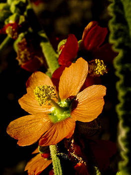 Wild orange flower by Jesus Nicolas Castanon