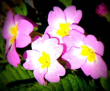 Wild Pink Primrose by Joseph Doyle