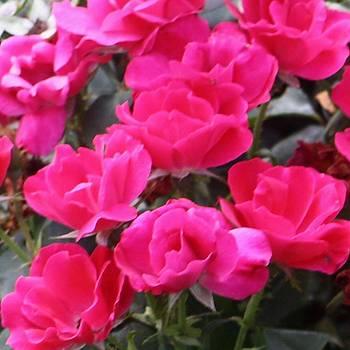 Wild Pink Roses by Sharon Spade - Kingsbury