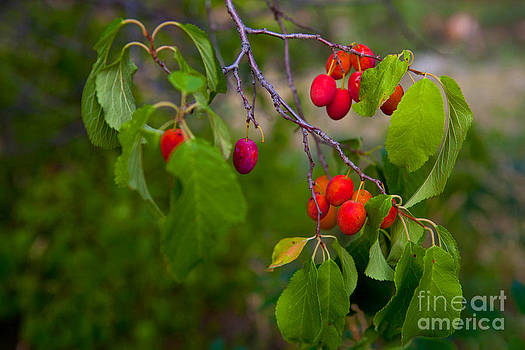 Wild Plum by Barbara Schultheis