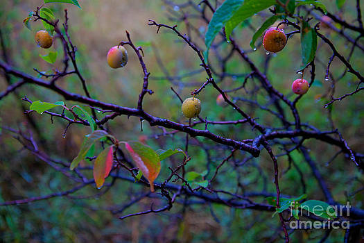 Wild Plums by Barbara Schultheis