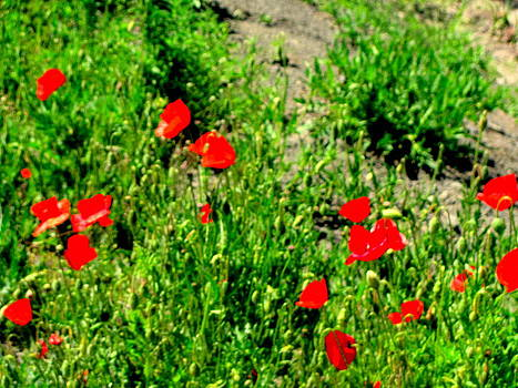 Wild Red Poppies by Amy Bradley