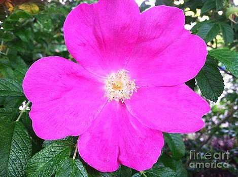 Wild Rose by Nicole Bibbens