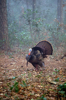 Wild turkey portriat by David Campione