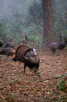 Wild turkey strutting by David Campione