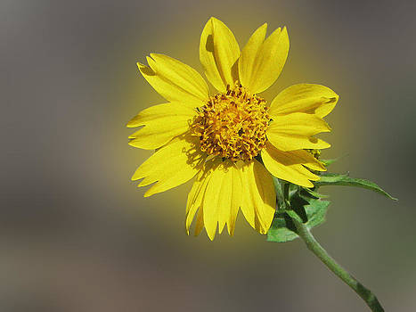 Wild yellow flower by Jesus Nicolas Castanon
