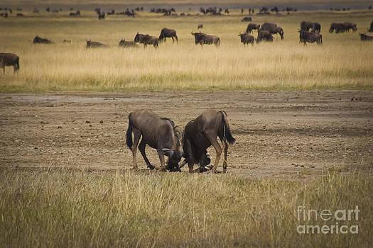 Darcy Michaelchuk - Wildebeest Fight On guard
