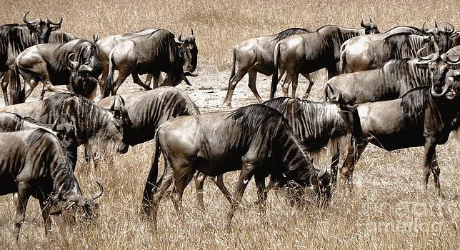 Wildebeest by Tina Broccoli
