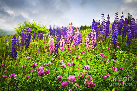 Elena Elisseeva - Wildflowers in Newfoundland