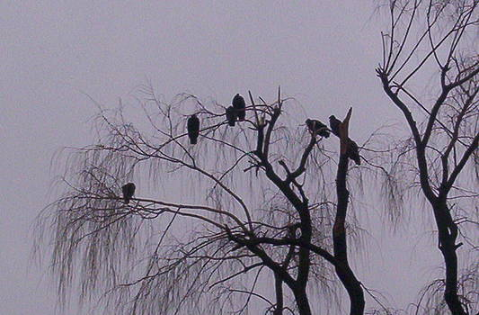 Willow Vultures by Emily Lambert