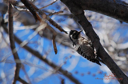 Willy Woodpecker by Sheryl Cox