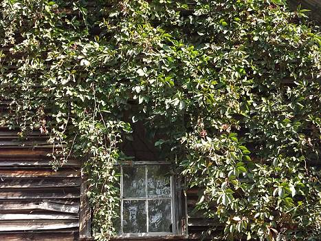Window Covered with Poison Ivy or Oak by Kathy Budd