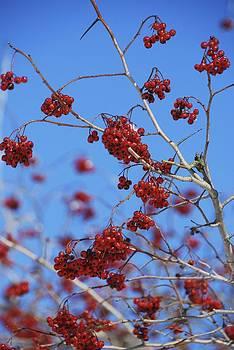 Winter Berries by Ryan Louis Maccione