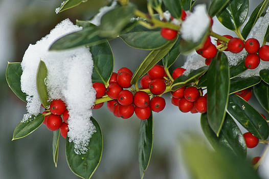 Winter Holly                    by Margaretha Brooks