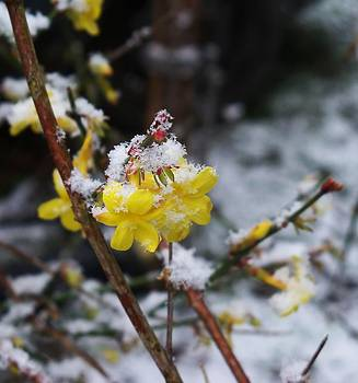 Winter Jasmine by Karen Erdmann