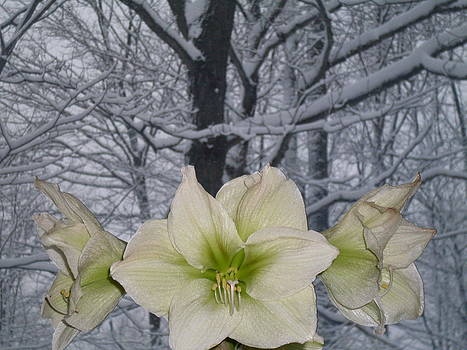 Winter Lilies by Ted Kitchen