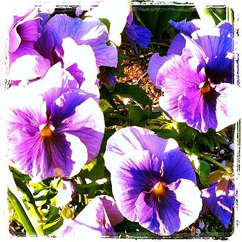 Winter Pansies by Dawn Marie Black