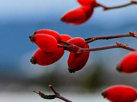 Winter Rose Hips Photograph - Vibrant Red by Light Shaft Images