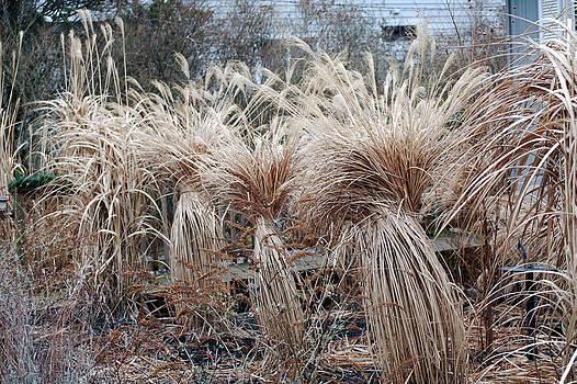 Harvey Barrison - Winter Wheat