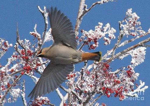 Winter Wings by Sandra Longstreet