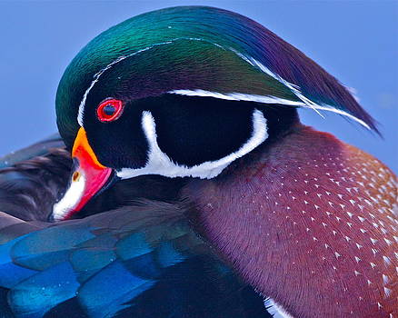 Wood Duck Profile by Bruce Colin