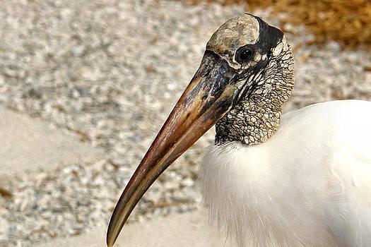 Carmen Del Valle - Wood Stork Close-Up 2