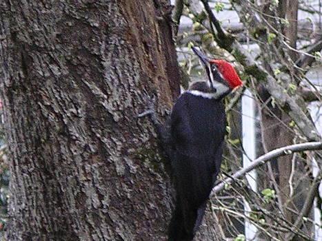 Woodpecker by Monica Cranswick
