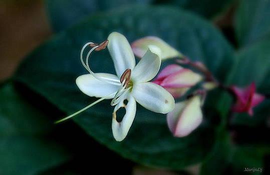 Wounded flower... by Marija Djedovic