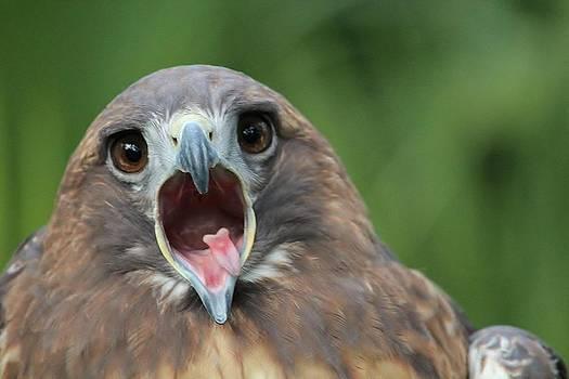 Yawning Hawk by Alexander Spahn