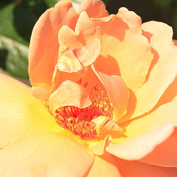 Yellow and Peach Rose by Donna Corless