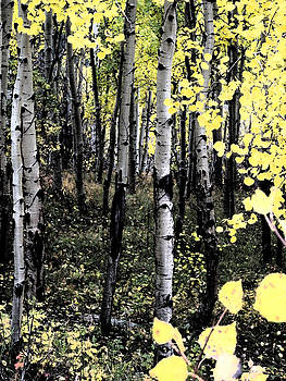 Yellow Aspens by Bill Kennedy