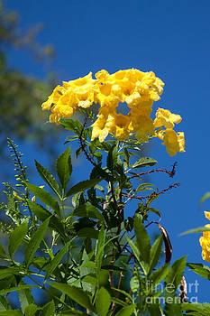 Yellow Beauty by Dinah Anaya