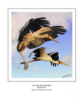 Yellow-billed Ibis in flight by Owen Bell