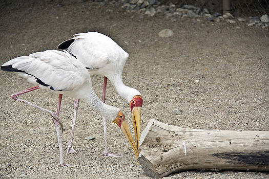Yellow-billed Storks by Molly Heng