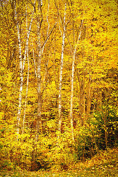 Yellow Birches 6212  by Ken Brodeur