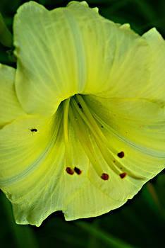 Michelle Cruz - Yellow Buzz Lily