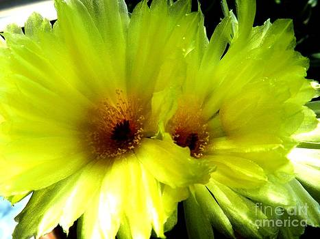 Yellow cactus flowers by Olga R
