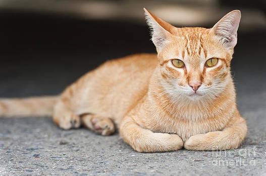 Yellow cat  by Sattapapan Tratong