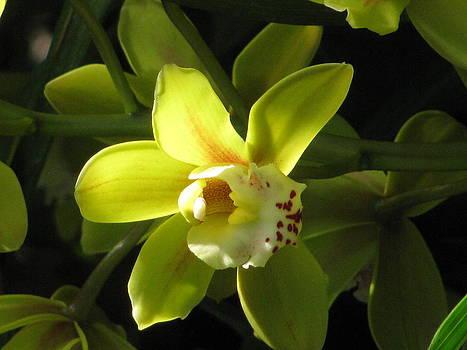 Alfred Ng - yellow cymbidium
