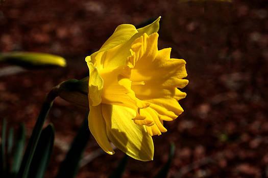 Yellow Daffodil -2 by Robert Morin
