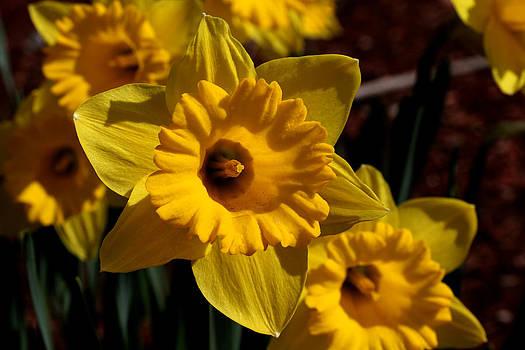 Yellow Daffodils - 1 by Robert Morin