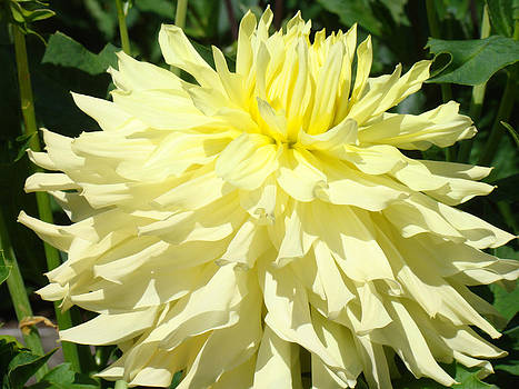 Baslee Troutman - Yellow Dahlia Flower art prints Dahlias Floral