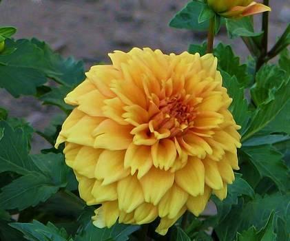 Yellow Dahlia by Victoria Sheldon