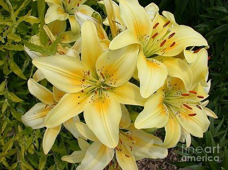 Tim Mulina - Yellow Daylillies