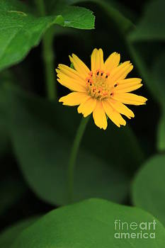 Yellow flower from the dark. by Chaitawat Pawapoowadon