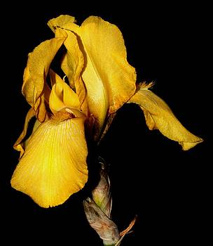 Yellow Iris - 1 by Robert Morin