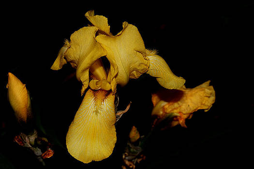 Yellow Iris - 2 by Robert Morin