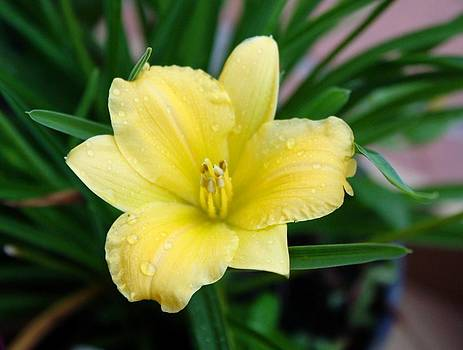 Yellow Lilly by Cathie Tyler