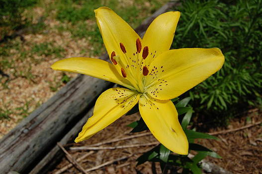 Yellow Lilly  by Paul Thomley