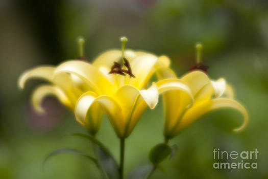 Yellow lily by Tad Kanazaki